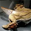 ¿Se puede transportar un dinosaurio momificado más de 2.500 km.